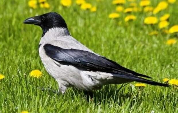 О том , как обыкновенная садовая ворона жизнь спасла