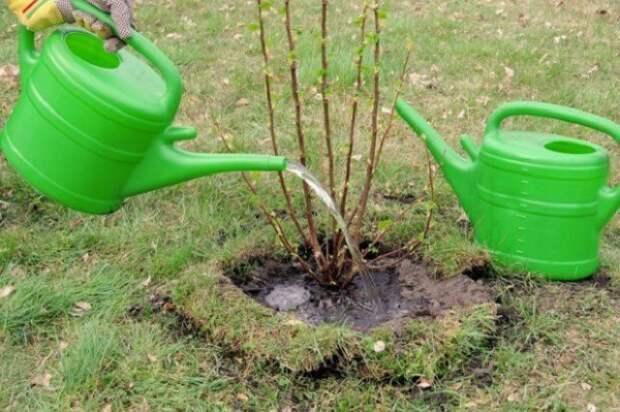 что делать если желтеют листья смородины и крыжовника