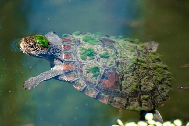Черепаха Мэри-Ривер с зелеными волосами