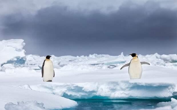 Невероятно очаровательные пингвины от фотографа, влюбленного в Антарктику Антарктика, животные, жизнь животных, забавно, пингвины, птицы, фото, фотограф