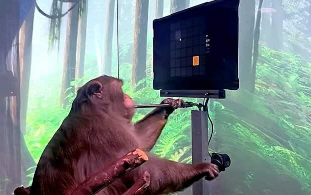 Илон Маск показал, какие возможности обрела обезьяна после вживления чипа в ее мозг