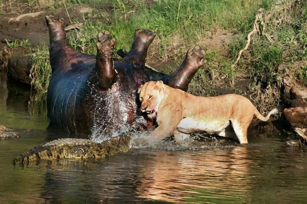 Потрясающие кадры противостояния львицы и крокодилов