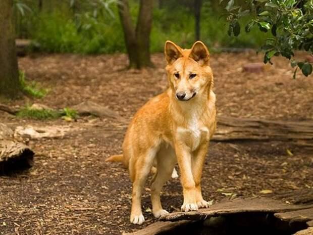 Собака-Динго-Описание-и-образ-жизни-динго-1