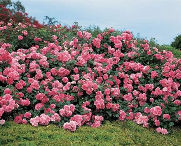 Жизнь в розовом цвете: 10 лучших розариев мира