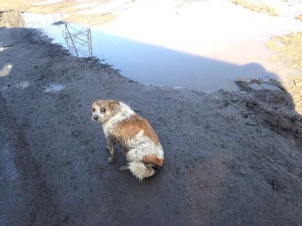 Маленькая собака опешила от удара и могла лишь беспомощно бархататься в грязи авария, история, маленькая собака, машина, приют, собака, хозяин