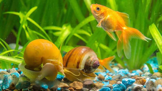Ампулярии уживаются с большинством видов рыбок