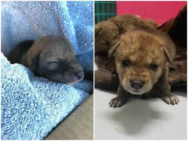 Мужчина подобрал маленького щенка, но тот оказался далеко не собакой до и после, история, история спасения, неожиданно, помощь животным, спасение животных