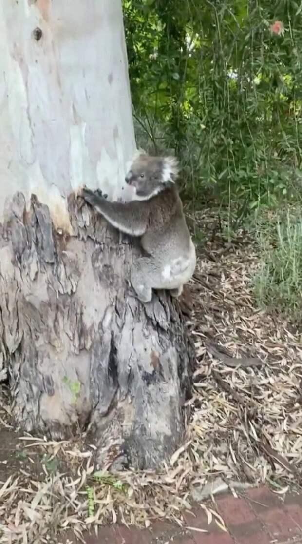 ВАвстралии семья вернулась домой иобнаружила нарождественской ели… коалу
