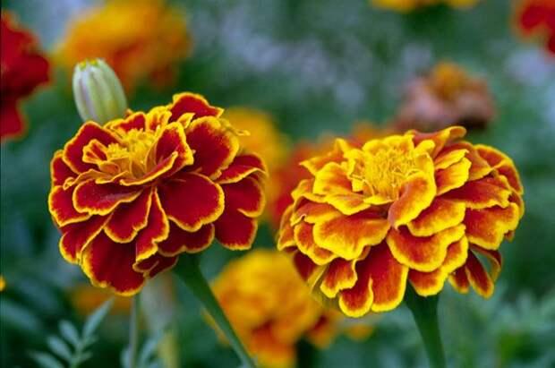 Собираем семена цветов. Как сэкономить на посадочном материале