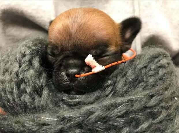 Он родился таким крошечным, что заводчик хотел его усыпить, но ветеринар выходила малыша