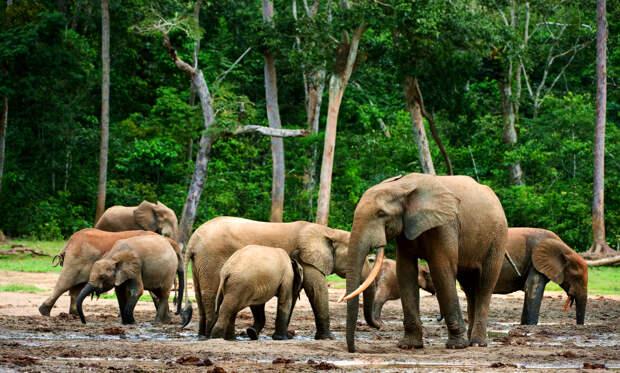 Фото африканских слонов