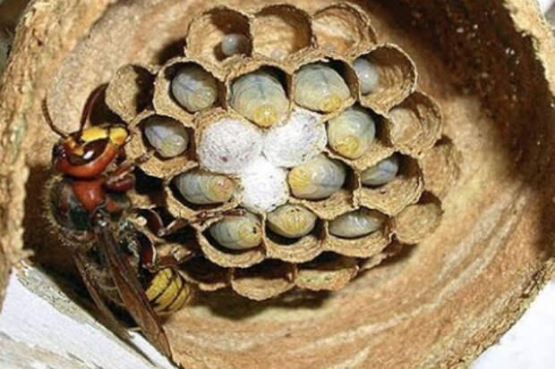 Шершень за 3 дня построил гнездо: видео