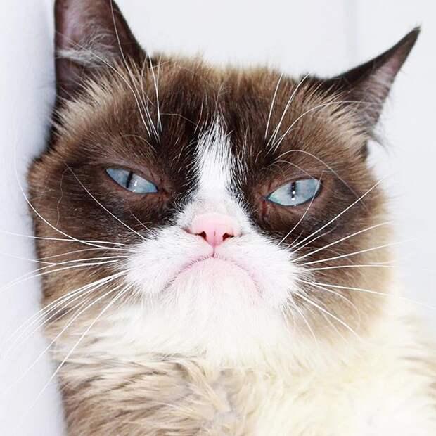 Grumpy cat животные, звёзды, интернет, коты, юмор