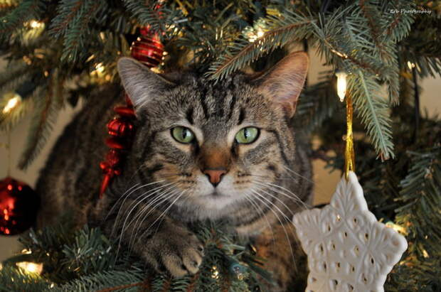 3166706_The_Christmas_Cat_by_erbphotography (700x464, 90Kb)