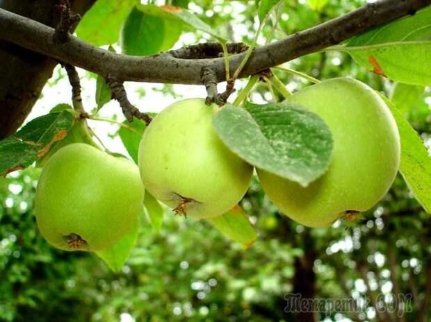 Размножение яблони без прививок