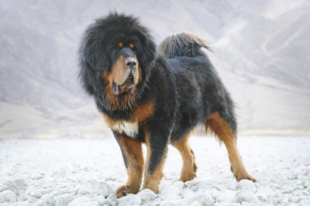 10 самых дорогих домашних животных в мире