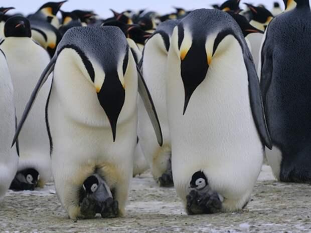 Императорский-пингвин-Описание-и-образ-жизни-императорского-пингвина-6