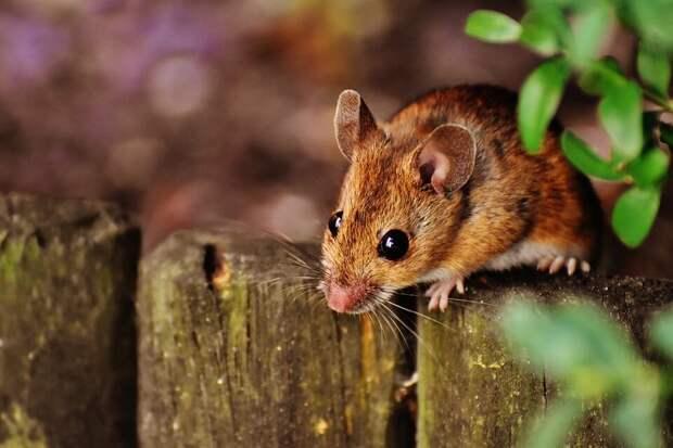 На фото изображена маленькая мышь.