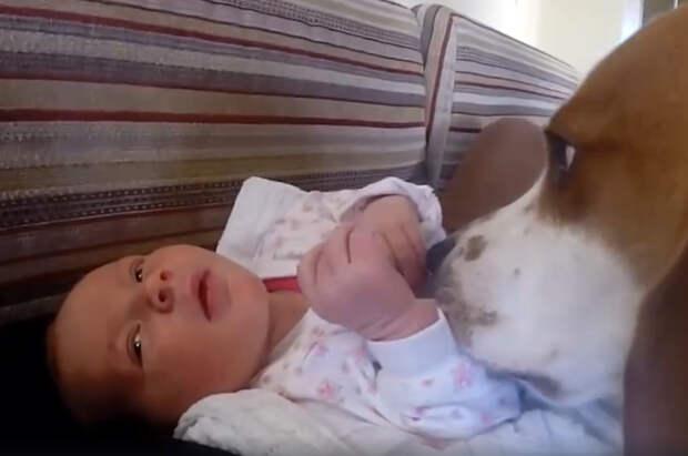 Собака ждала появления ребенка в семье. Только взгляните как пес встречает кроху! Это настоящая любовь!