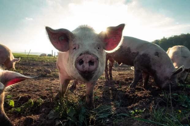 В Нидерландах в аэропорту начали работать свиньи