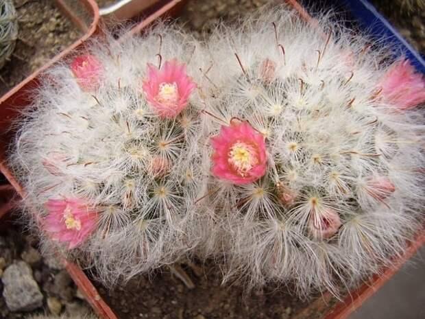 Популярные виды маммиллярии с фото — посадка кактуса, базовый уход