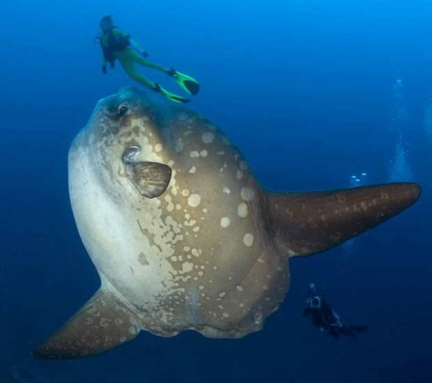 Рыба луна — гигант с самым маленьким мозгом в мире