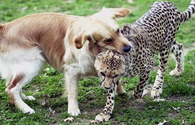 o DOGS CHEETAHS facebook Про дружбу кошек с собаками