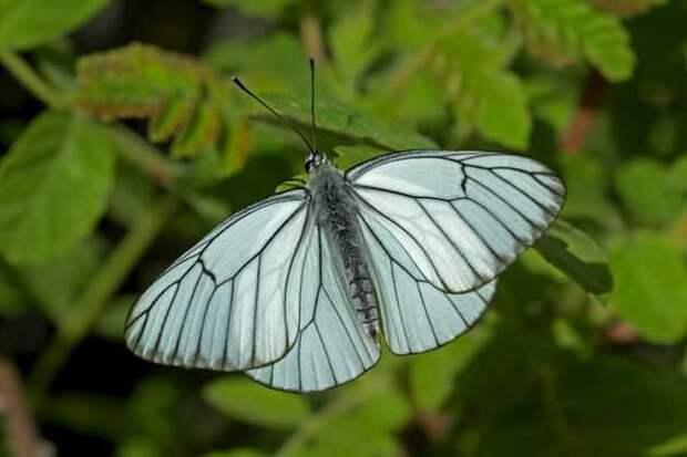 Боярышница: так выглядит бабочка
