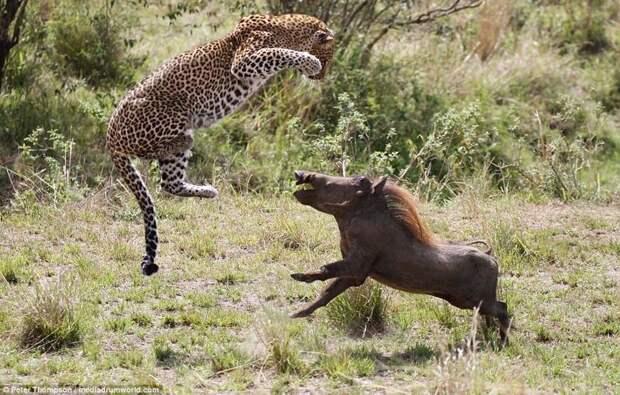 Танец на выбывание: смертельная схватка леопарда и дикой свиньи битва животных, бородавочник, заповедник, кения, леопард, масаи-мара, самка, схватка