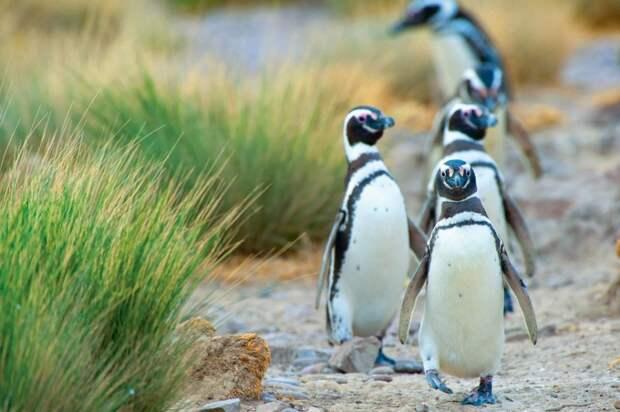 Магеллановы пингвины, фото
