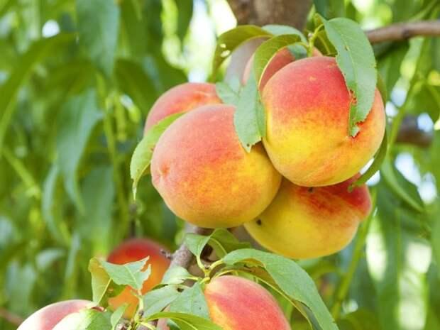 Технология выращивания персика в форме куста