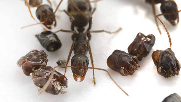 """Биологи раскрыли тайну муравьев, коллекционирующих """"черепа"""" врагов"""