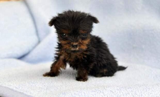 Самый маленький щенок Британии, габариты которого не превышают размеры банки с бобами