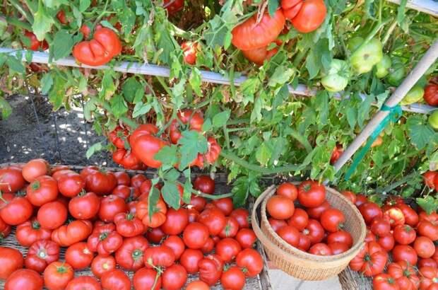 Семь правил большого урожая томатов