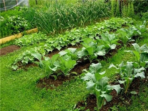 Что ещё можно успеть посадить в огороде