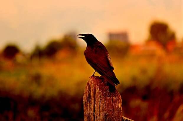 Ворона, Птица, Животных, Оперение, Клюв, Заседание