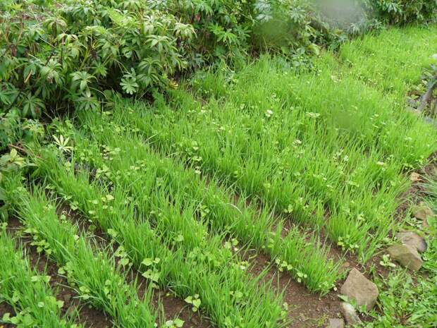 Вся польза сидератов для простого огородника