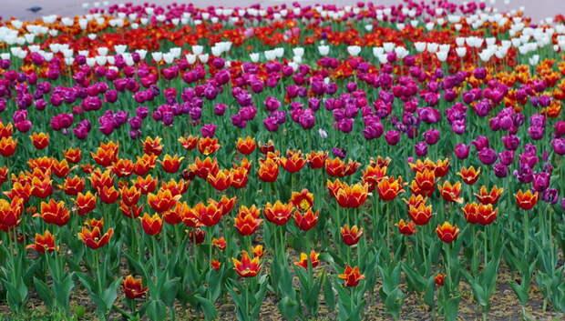 Более 250 тыс тюльпанов появились на клумбах в центре Подольска
