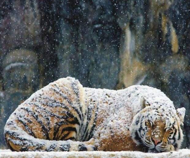 Тигр в снегу Фоновые обои - Загрузить на свой мобильный телефон от ...