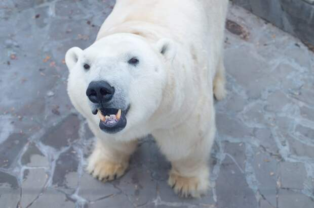 Ижевский белый медведь Айон стал папой в ростовском зоопарке