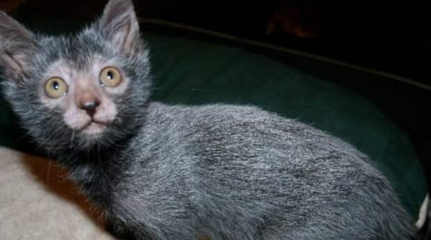 """Кошка-""""оборотень"""": внешне суровая, но очень добрая и преданная"""