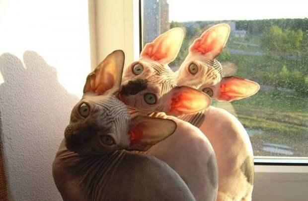 Синхронизированные коты картинки, кот, фото