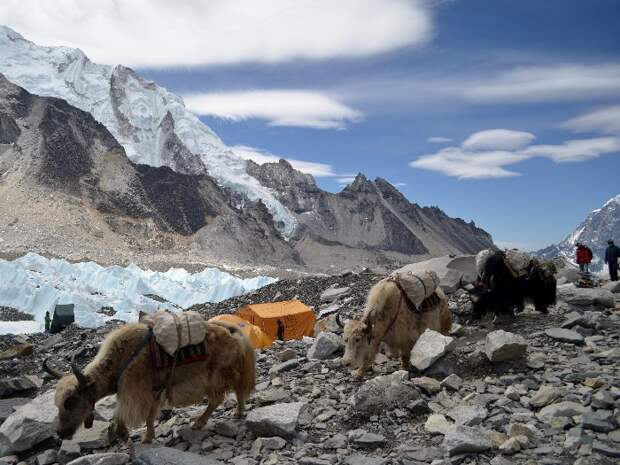 Яки в базовом лагере Эвереста