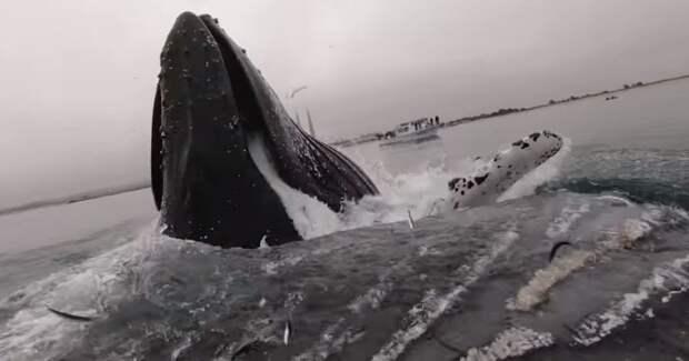 Огромный кит едва не опрокинул каякера, вынырнув рядом с ним видео, животные, каякер, кит, лодка, океан, повезло, прикол