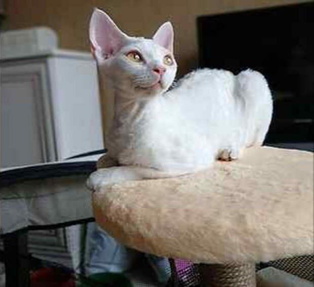 Котёнок девон рекс появился в доме, где хозяйка его не полюбила, и в тихую избавилась от него