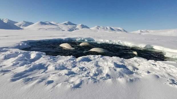 Около 20 белух попали в ледовый плен в бухте на Чукотке