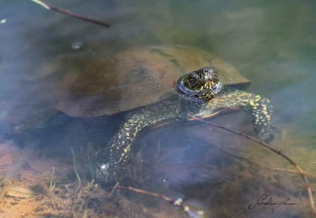 Болотная черепаха/ Мосприрода