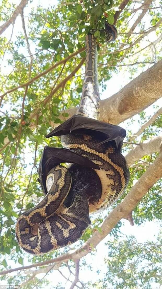 """Необычное зрелище: """"борьба"""" питона с летучей мышью австралия, битва гигантов, битва животных, змеи, летучая мышь, питон, питоны, провал"""