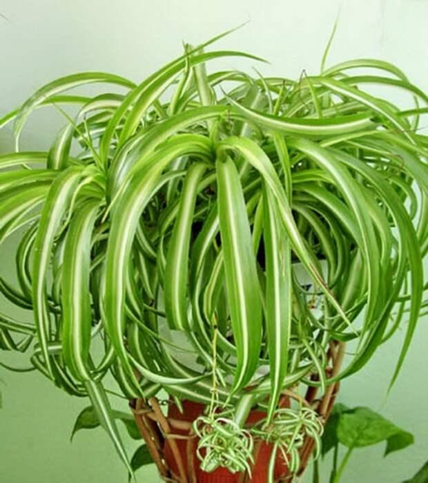 Комнатные растения, которые прекрасно чистят воздух и не требуют особого ухода!!!