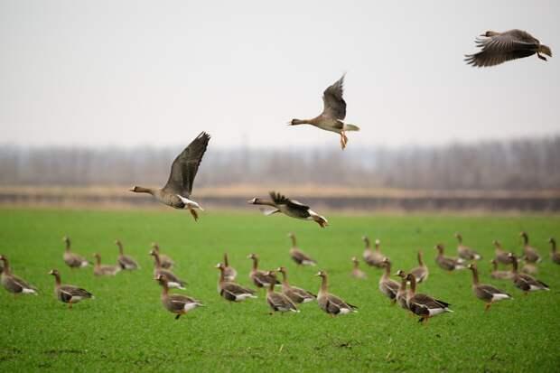 Аспекты этичности весенней охоты на гусей